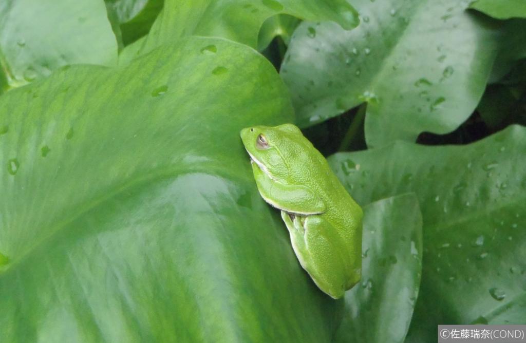 葉っぱの上に座るアオガエル